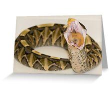 Gaboon Viper eating a hamster Greeting Card