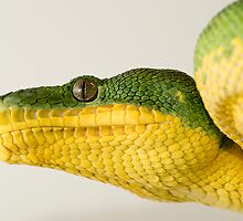 Emerald Tree Boa by MidnightRocker