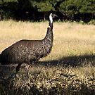 Emu by Pascal and Isabella Inard