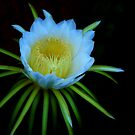The Night-Blooming Cereus,#1 by HG. QualityPhotography
