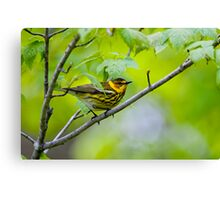 Cape May Warbler -  Ottawa, Ontario Canvas Print