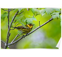 Cape May Warbler -  Ottawa, Ontario Poster