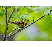 Cape May Warbler -  Ottawa, Ontario Photographic Print