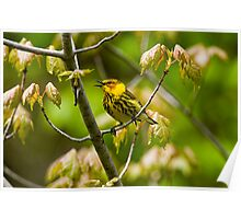 Cape May Warbler -  Ottawa, Ontario - 2 Poster