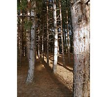 Pine Trees in the Late Afternoon on the Norfolk Coast Photographic Print