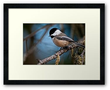 Chickadee on Branch - Ottawa, Ontario  - 2 by Michael Cummings