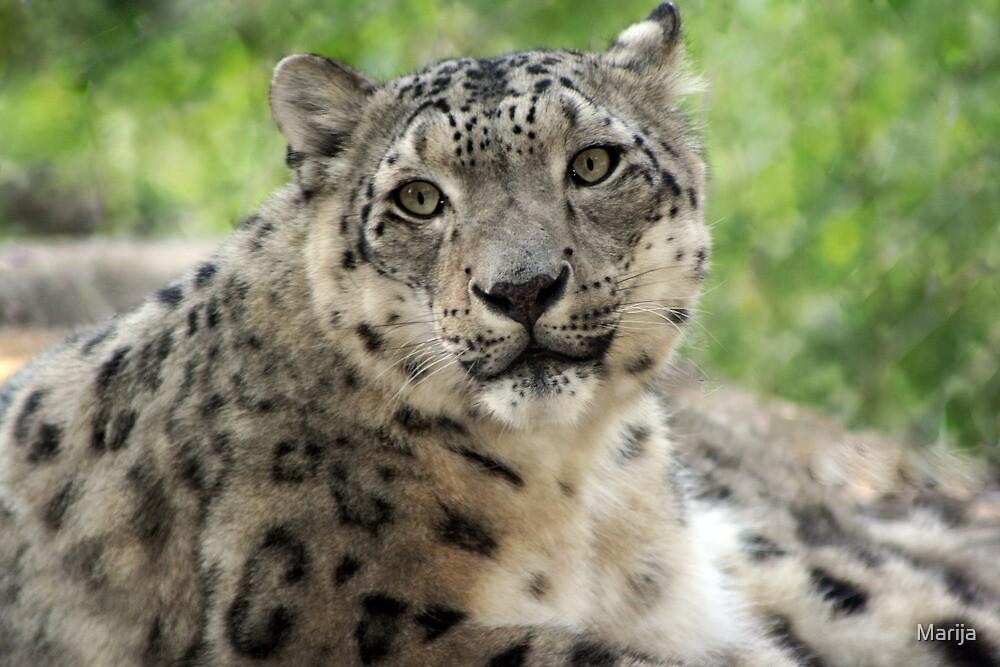 Snow Leopard by Marija