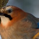 Eurasian jay by julie08