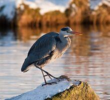 Heron in snow by John C. Murphy