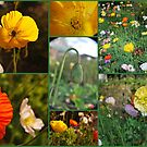 Poppies  by Julie Sherlock
