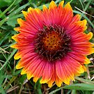Firewheeel, aka Indian Blanket by Marita Sutherlin