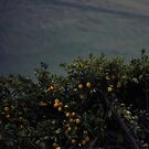 ...the lemon trees by p r