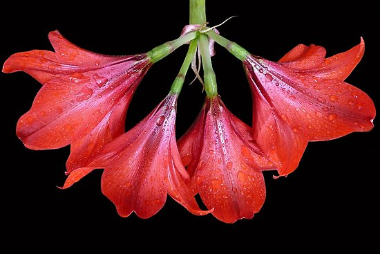 Hippeastrum 'Russian Halo'  by Magee