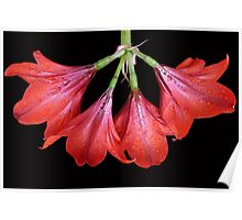 Hippeastrum 'Russian Halo'  Poster