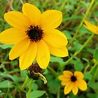 Blackeyed Susan by worldtripper