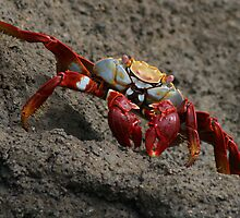 Red Crab, Grey Rock by Jane McDougall