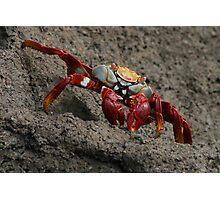 Red Crab, Grey Rock, Galapagos, Ecuador Photographic Print