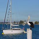 Pelican, Batemans Bay, NSW by BronReid