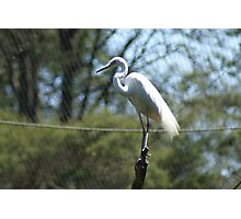 Great Egret, Healesville Sanctuary Photographic Print