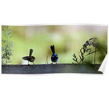 Hen-pecked husband ii (Superb Blue Fairy Wren) Poster