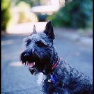 Scottish Terrier x Jack Russel by bodiehartley