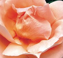 Folds Rose by Kerryn Benbow