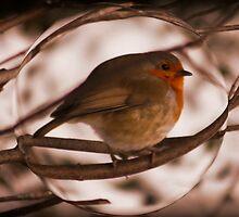Robin at Sunset  by AnnDixon