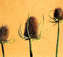 Teasels by JEZ22