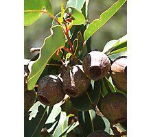 Gumnuts Photographic Print