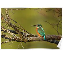 Kingfisher on a Tree Poster