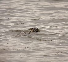 An otter fishing in the Quoile pondage by Jon Lees