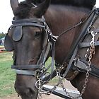 Working Percheron in Harness by livinginoz