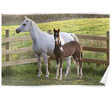 Arab Mare and Foal Poster