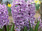 Hyacinth by NatureGreeting Cards ©ccwri