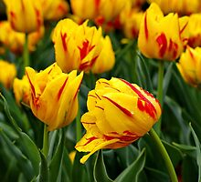 Yellow and Red Tulips by Sandy Keeton