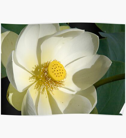 White/Yellow Lotus Flower Poster