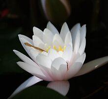 Sunken Gardens Water Lilly _ 0147 by KBloodGallery