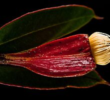 Flowering Gum by Margot Kiesskalt