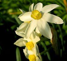 Daffodils by Philip Alexander