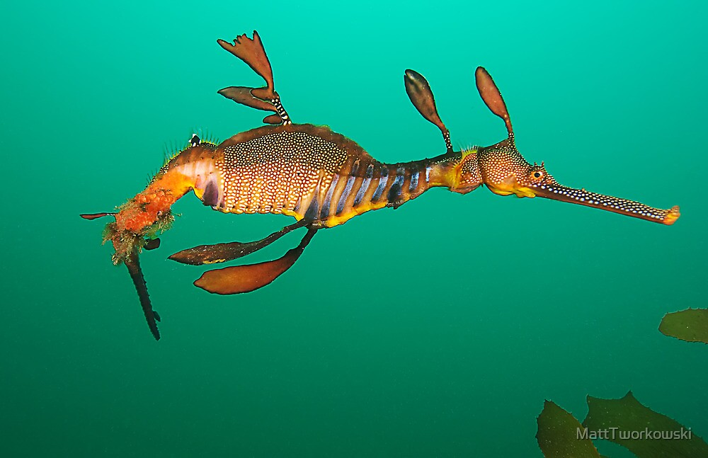 Bicheno Dragon by MattTworkowski