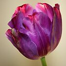 Purple Tulip by Segalili
