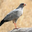Pale Chanting Goshawk #2 by Jo McGowan