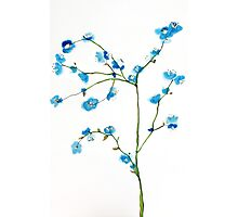Blue Cherry Blossoms Watercolor Photographic Print