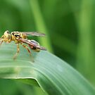 Wasp by mindy23