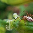 Female Lynx Spider by mindy23