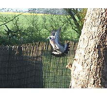 diving pigeon Photographic Print