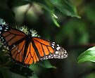 Tattered Monarch (Butterfly) by goddarb