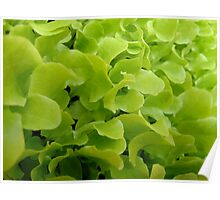 Farm Fresh Lettuce Poster