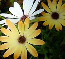 The Odd One Out - Triplet Daisies by Stephanie Hall