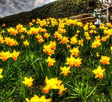 Daffodils by chris smith